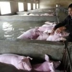 An employee touches pigs which cannot be moved away from a flooded farm, due to an environmental protection and epidemic prevention measure, before he leaves for a safer place in Liu'an