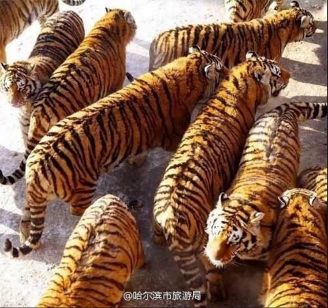 fat tigers