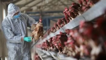 China bird flu virus