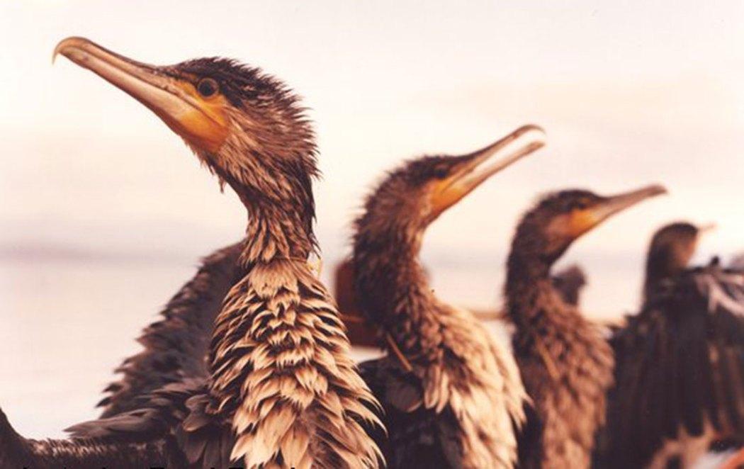 Cormorants fishing