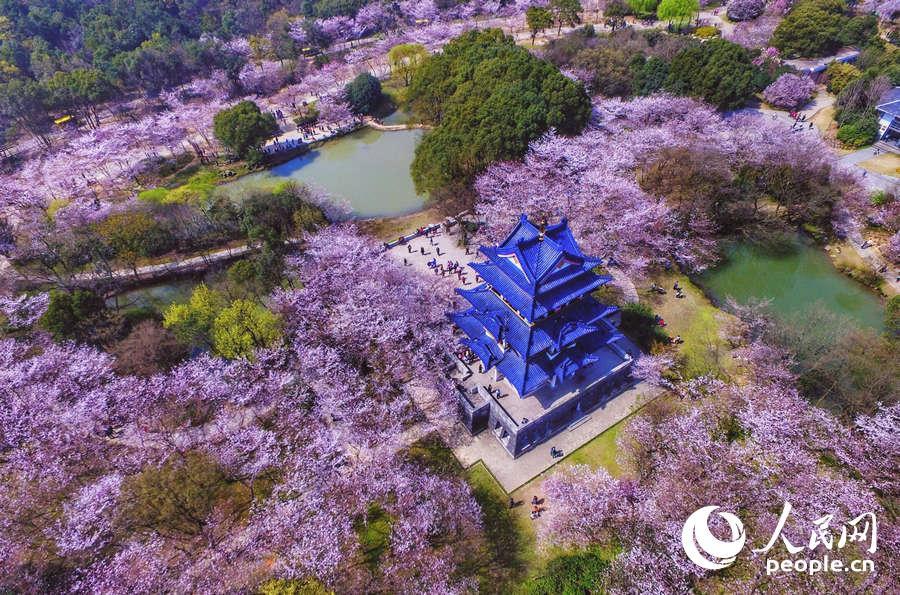 Yuantouzhu-cherry-blossom-pink-flowers