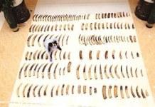 ivory-smuggled