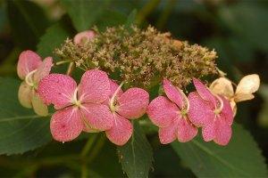 Hydrangea 繡球屬