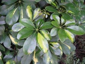 Schefflera arboricola 鵝掌藤