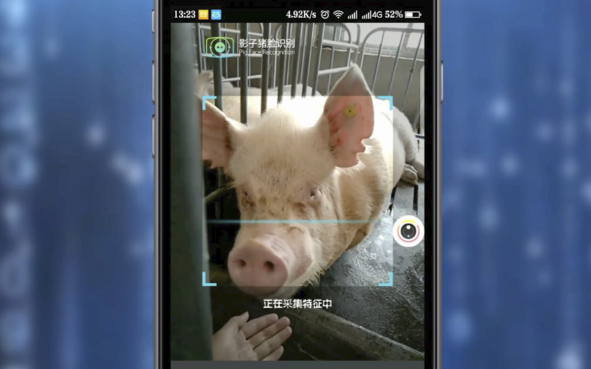 The photo shows the facial recognition process of a pig on a smartphone. Facial recognition is being used to track and combat disease in China's hog industry.