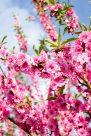 Blossom tree in Yuyuantan park.