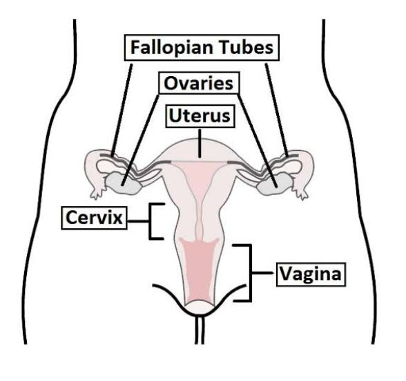 Location of the cervix