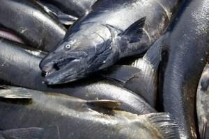 head Chinook salmon fish close