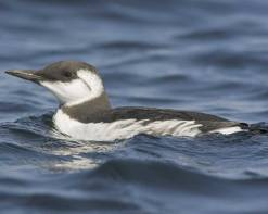common_murre_b57-4-056_l