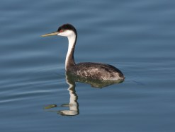 western_grebe_swimming