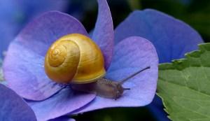 Chiocciola su fiore. A differenza della lumaca ha il guscio