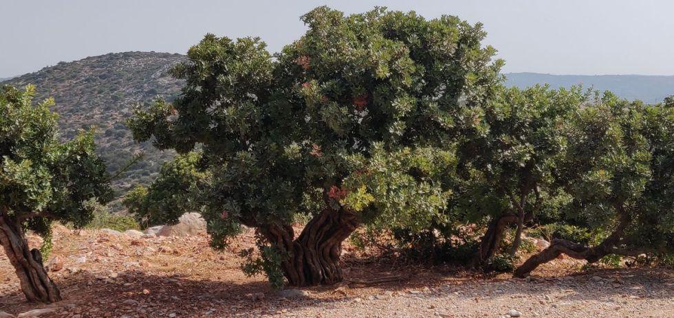 Oude mastiekbomen