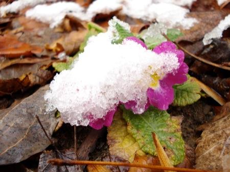 primrose-in-snow