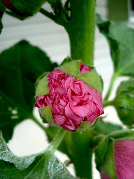 hollyhock-bloom