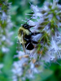 bee-on-hyssop