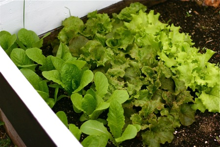lettuce-in-cold-frame