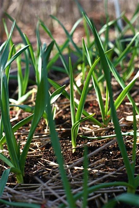 garlic-in-spring