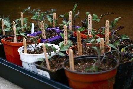 potted-tomato-seedlings
