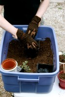 repotting-tomatoes-3