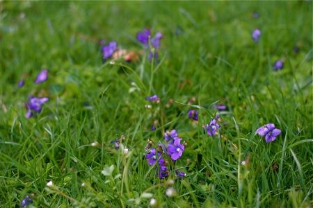 wild-violets-in-lawn