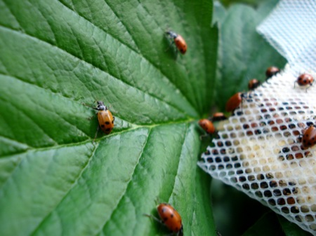 beneficial-ladybugs