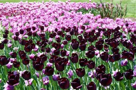 dark-purple-tulips