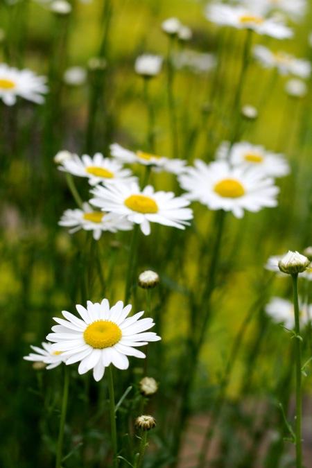 Oxeye daisy 1