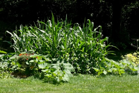 corn_in_the_garden