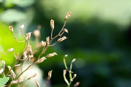 Larkspur_Seeds