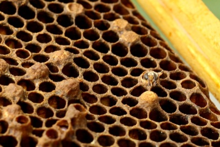 Bee_emerging_from_cell
