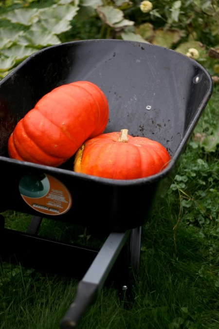 Pumpkins_in_wheelbarrow