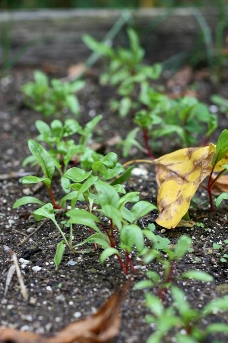 Chard_seedlings