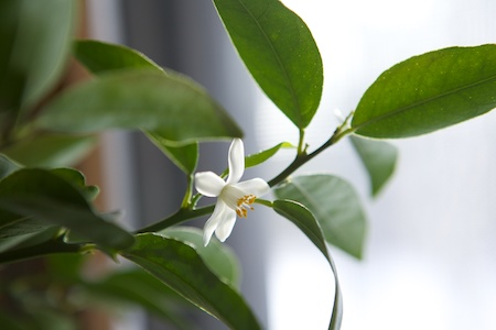 lemon trees blooming 3
