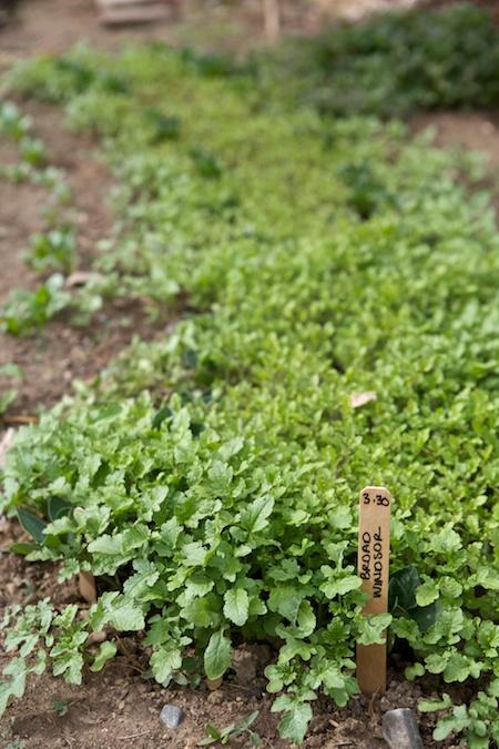 mustard greens 2