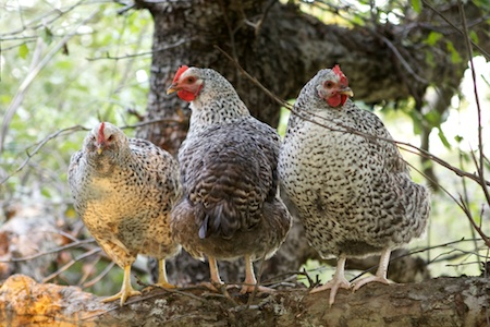 chickens in apple tree 3