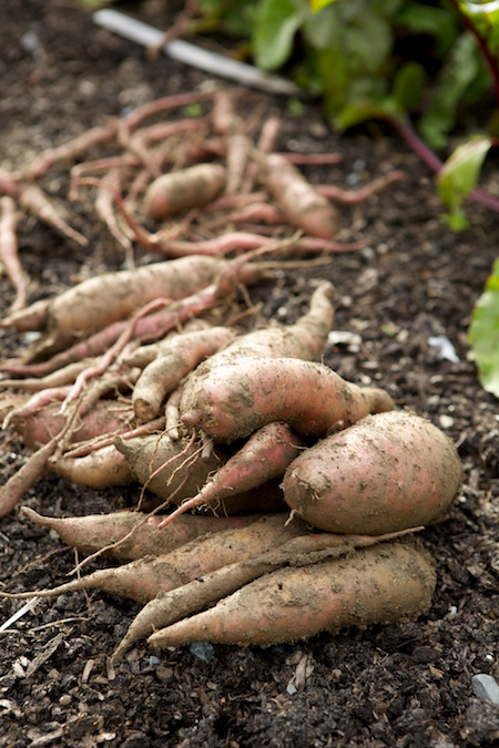 sweet potato harvest 2