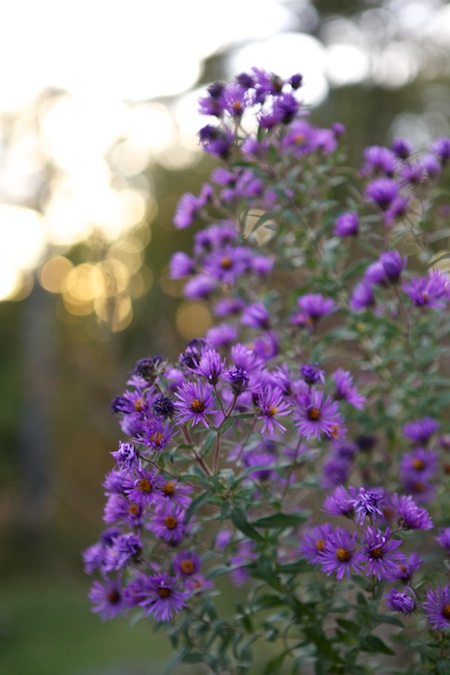 New England Asters 1