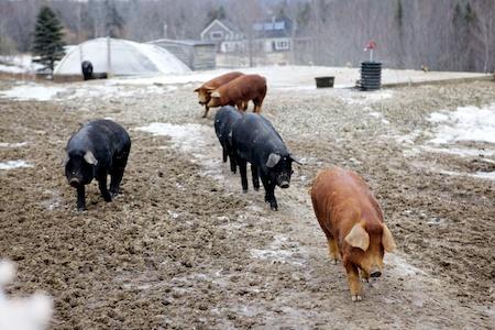pigs 8