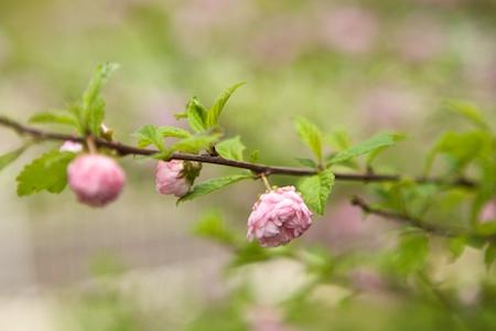 Flowering Almond 2