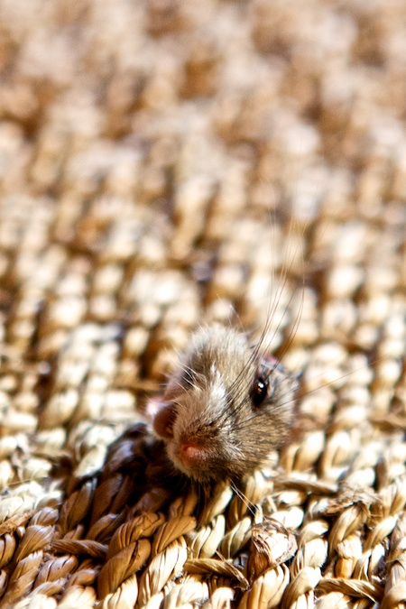 dead mouse (1)