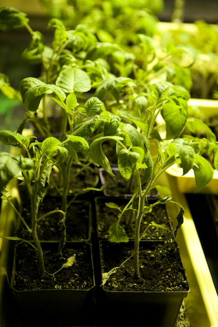 cold tolerant tomatoes 2