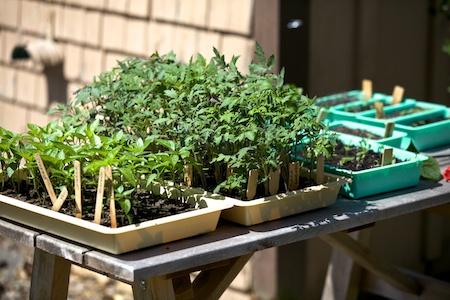 tomato and pepper seedlings