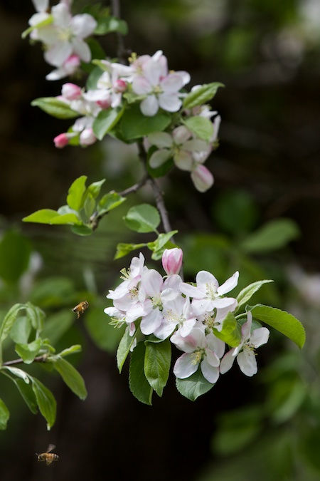 apple tree in bloom 3
