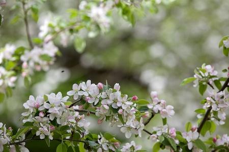 apple tree in bloom 5
