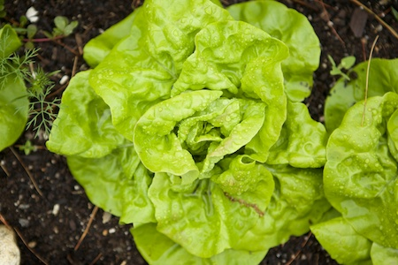 parade of lettuces 5