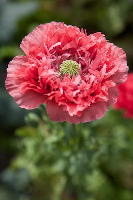 peony poppies 1