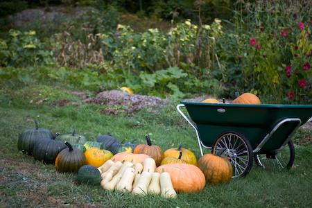 heirloom pumpkin harvest 1