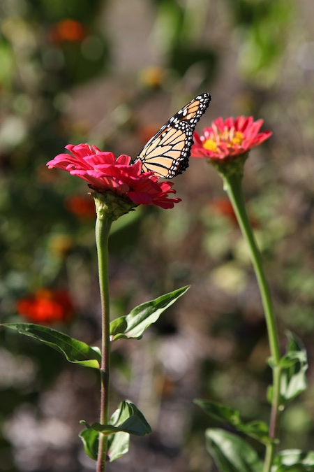 monarch-on-zinnia-1