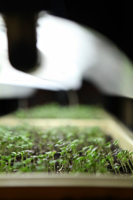spicy-microgreens-under-the-grow-light