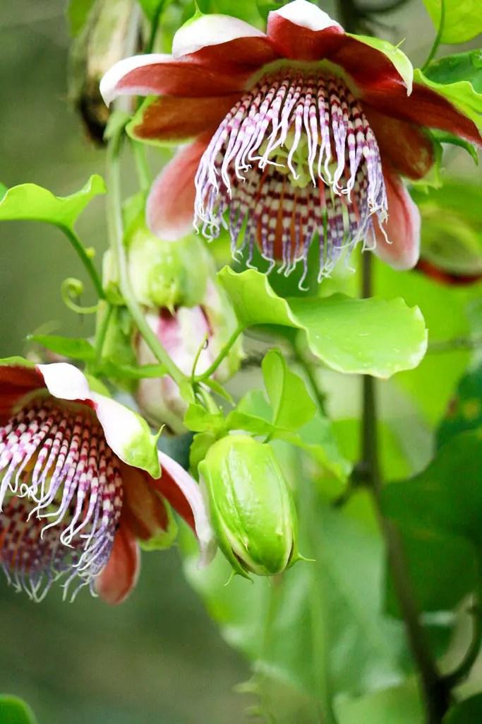 2 passion fruit flowers